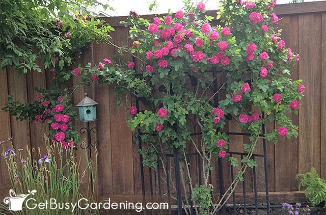 Gorgeous climbing rose in full bloom