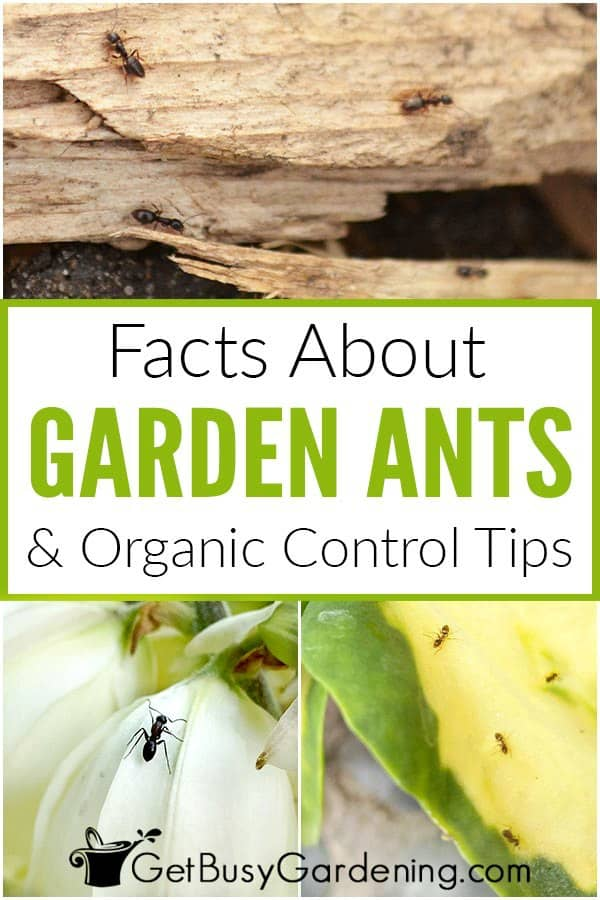 Facts About Garden Ants & Organic Control Tips