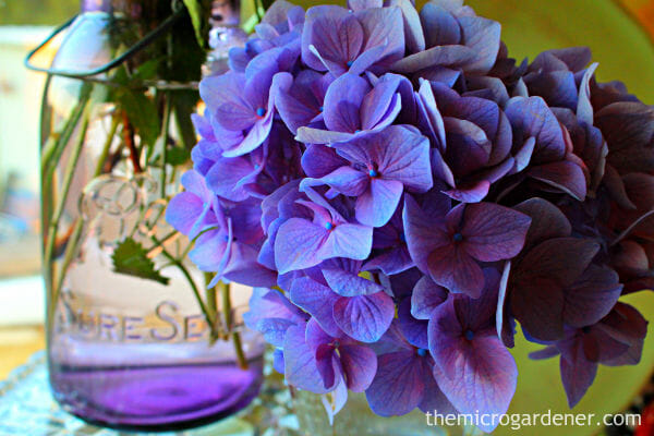 Hydrangea blooms make beautiful cut flowers.