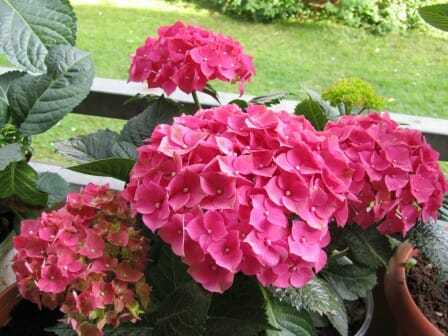 Hydrangeas thrive in healthy soil