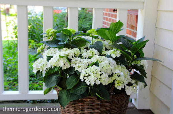 Hydrangeas can be pruned into a compact shape and look great in containers with texture like wicker baskets.