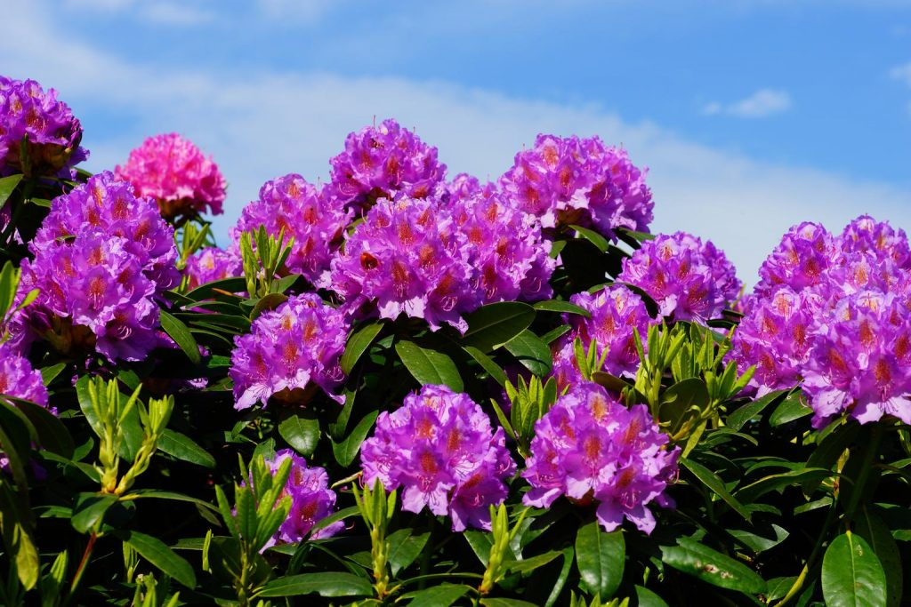 4_rododendron